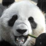 111017060721-giant-panda-bamboo-story-top